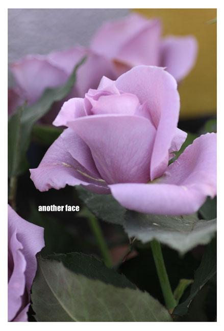 0515-Blue rose