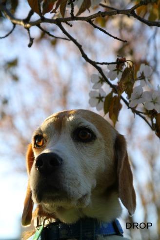 桜ドロップ2