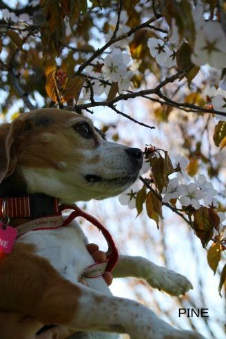 桜パイン1