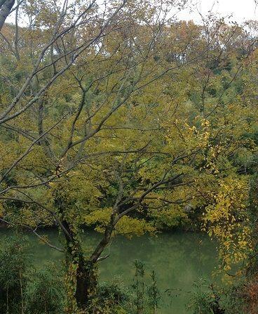沼みたいな川と黄色葉の木