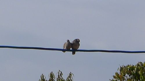 2011 0227 末石公園の鳩 2