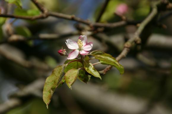 りんごの花4