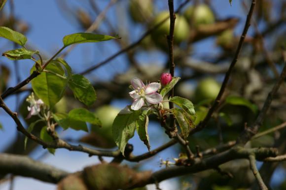 りんごの花3