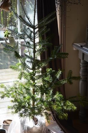 クリスマス生のモミの木