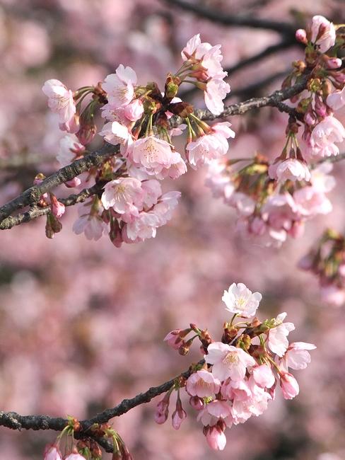 兼六園の椿寒桜 別名「初美人」