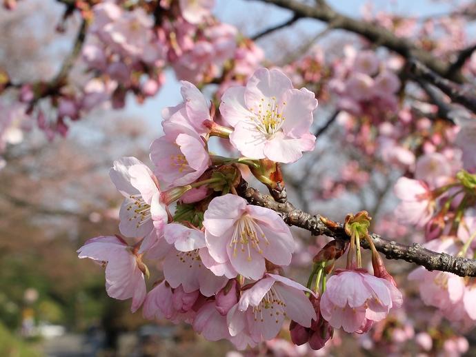 金沢兼六園 椿寒桜