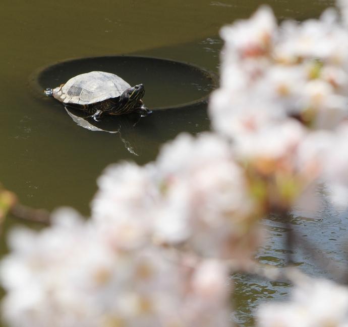 金沢城大手堀 亀と桜のコラボレーション