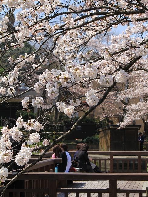 金沢城大手堀の桜