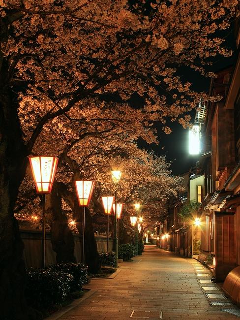 金沢 主計町茶屋街の夜桜