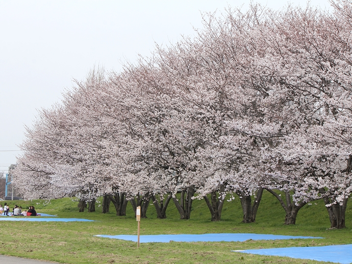 犀川河川敷 満開の桜