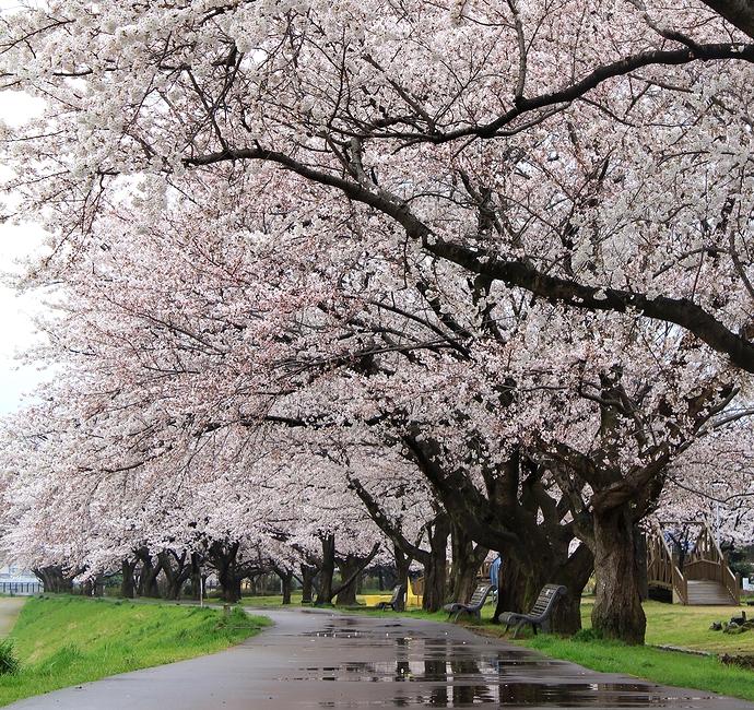 犀川緑地 雨の中の満開の桜