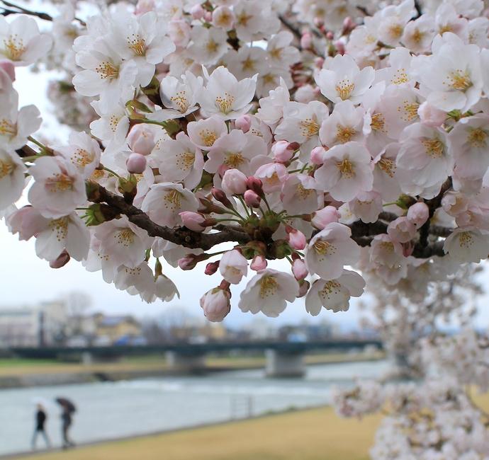 犀川河川敷の満開の桜