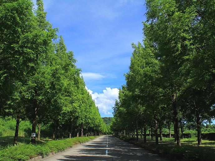 太陽が丘 深緑のメタセコイア並木