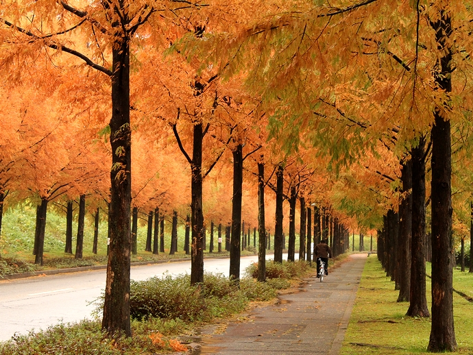 太陽が丘 紅葉のメタセコイア並木