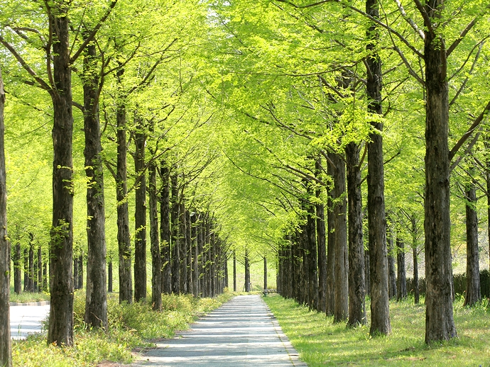 太陽が丘 新緑のメタセコイア並木