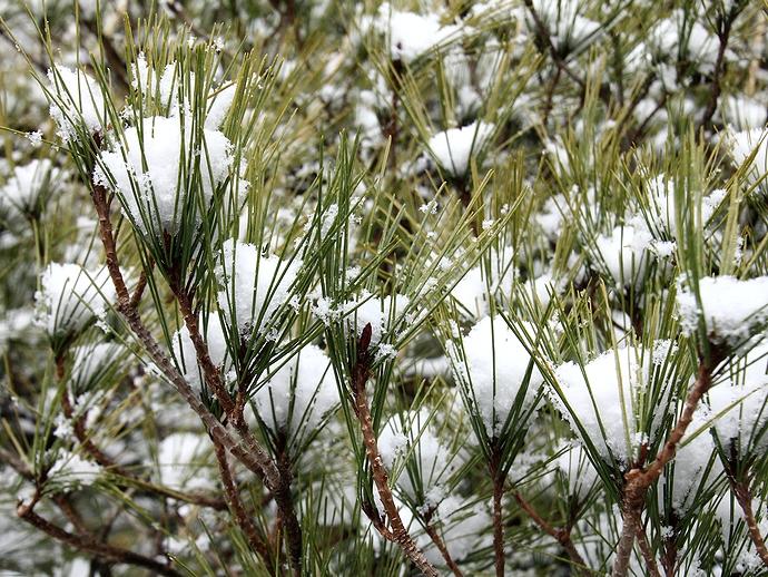 雪の積もった松の木 冬の兼六園にて