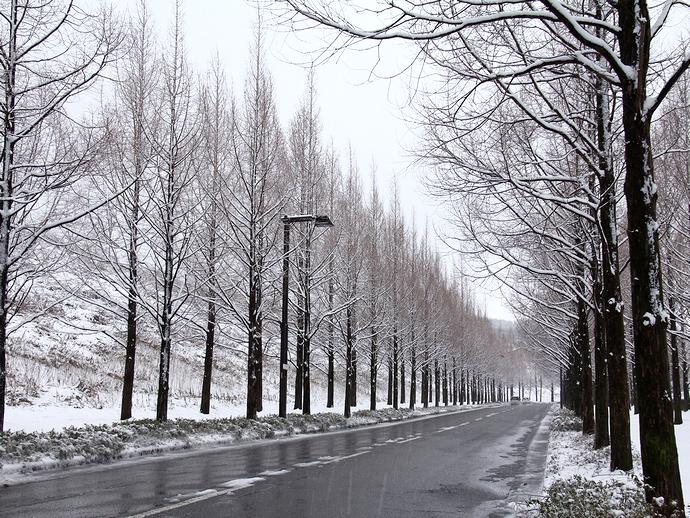 冬ソナロード!? 雪のメタセコイア並木(金沢市)