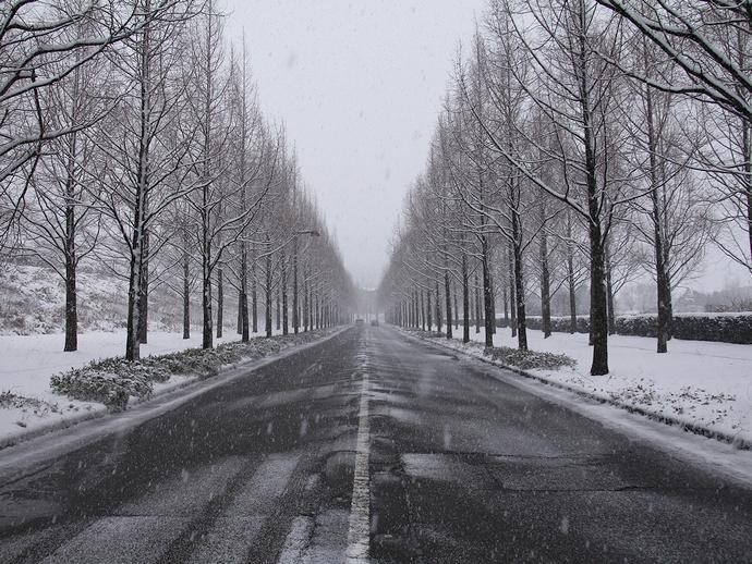 雪降るメタセコイア並木(金沢市太陽が丘)