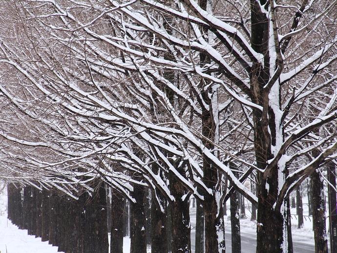 枝に積もる雪(太陽が丘メタセコイア並木)