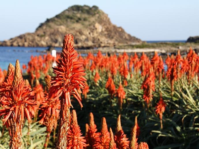 爪木崎公園のアロエの花