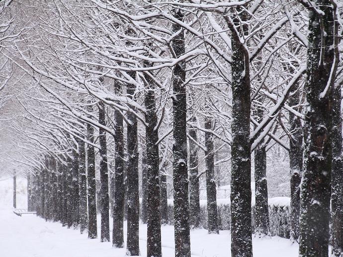 メタセコイア並木の雪景色 金沢市太陽が丘