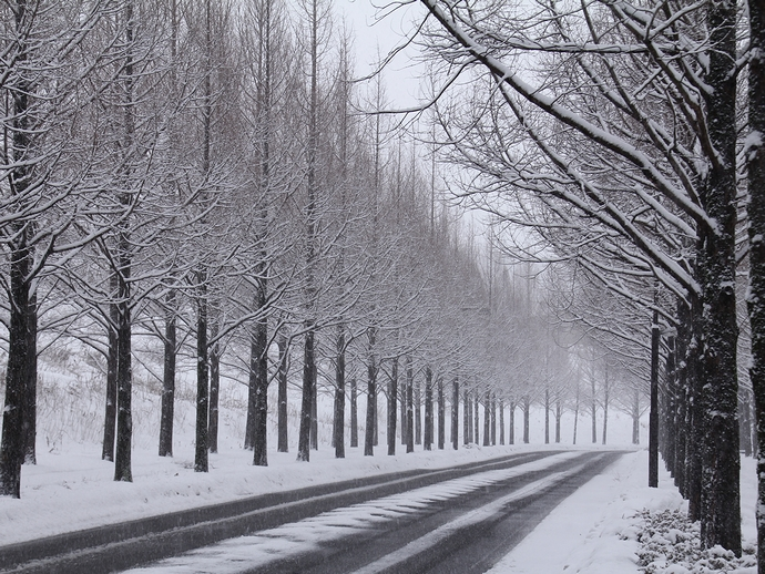 太陽が丘メタセコイア並木の雪景色(車道)