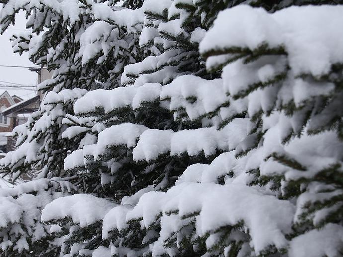 木に雪降り積もり