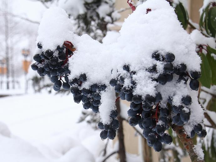 木の実に雪降り積もり