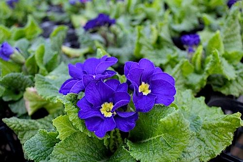 プリムラ ポリアンサ 生産 販売 肥後ポリアンサ 紫紺 Primula polyantha サクラソウ科 松原園芸