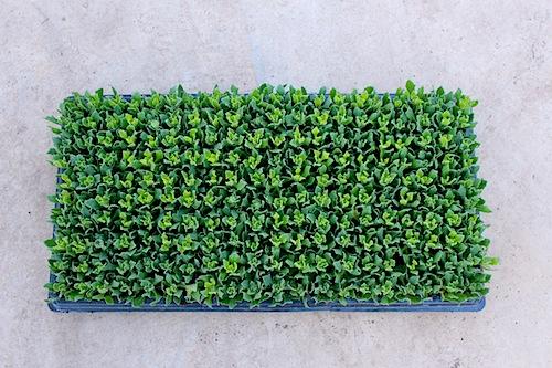 オステオスペルマム Osteospermum 松原園芸 生産 セル苗