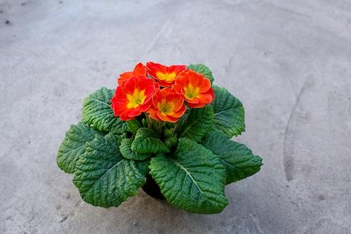 プリムラ ポリアンサ 肥後ポリアンサ 茜(あかね)オレンジ 生産 販売 Primula polyantha サクラソウ科 松原園芸