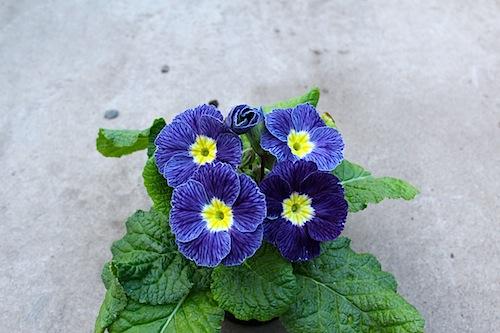 プリムラ ポリアンサ 肥後ポリアンサ 出荷 生産 販売 紫雲(しうん)Primula polyantha サクラソウ科 松原園芸