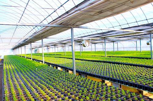 オステオスペルマム Osteospermum ポット苗 3.5号 生産 販売 松原園芸