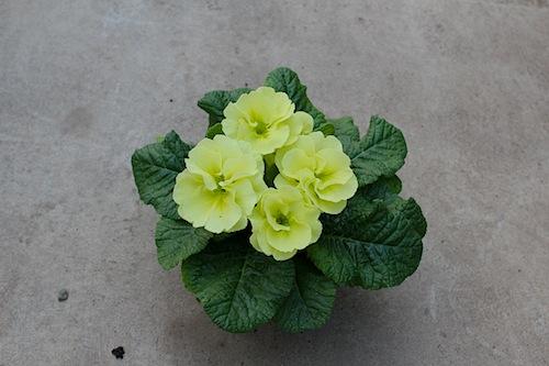 プリムラ ポリアンサ 肥後ポリアンサ 出荷 生産 販売 夕月(ゆうづき) Primula polyantha サクラソウ科 松原園芸