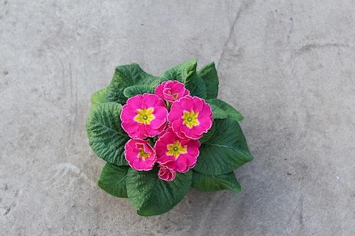 プリムラ ポリアンサ 肥後ポリアンサ 出荷 生産 販売 桃源(とうげん) Primula polyantha サクラソウ科 松原園芸