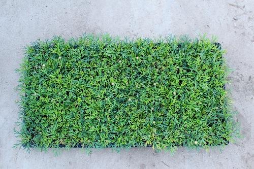 マーガレット 出荷 生産 販売 Argyranthemum frutescens キク科 松原園芸