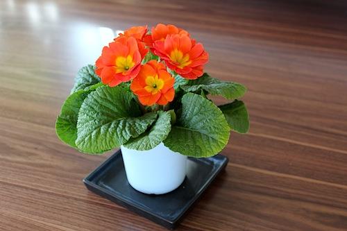 プリムラ ポリアンサ 室内で管理 肥後ポリアンサ 出荷 生産 販売 茜(あかね) Primula polyantha サクラソウ科 松原園芸