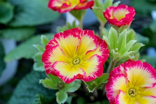 プリムラ ポリアンサ 室内で管理 肥後ポリアンサ 出荷 生産 販売 紅返し(もみがえし) Primula polyantha サクラソウ科 松原園芸