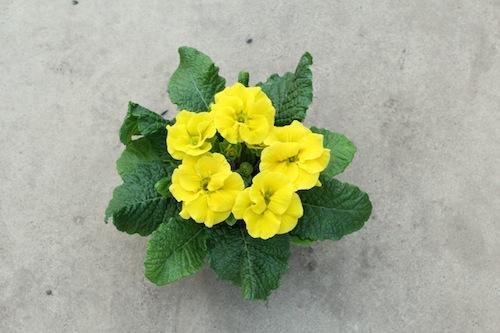 プリムラ ポリアンサ 室内で管理 肥後ポリアンサ 出荷 生産 販売 萌黄(もえぎ) Primula polyantha サクラソウ科 松原園芸