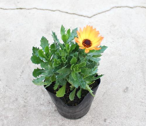 オステオスペルマム Osteospermum パステルオレンジ オリジナル品種 松原園芸 生産 販売