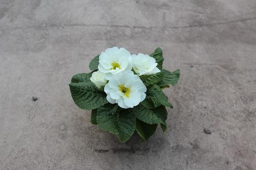 プリムラ ポリアンサ 室内で管理 肥後ポリアンサ 出荷 生産 販売 牡丹雪(ぼたんゆき) Primula polyantha サクラソウ科 松原園芸