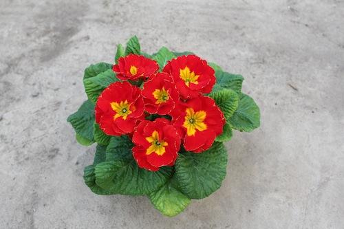 プリムラ ポリアンサ 室内で管理 肥後ポリアンサ 出荷 生産 販売 不知火(しらぬい) Primula polyantha サクラソウ科 松原園芸