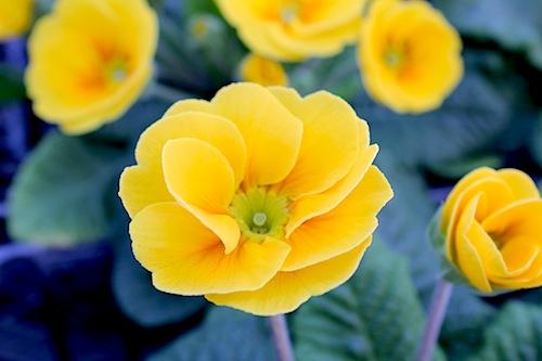 プリムラ ポリアンサ 室内で管理 肥後ポリアンサ 出荷 生産 販売 山吹(やまぶき) Primula polyantha サクラソウ科 松原園芸