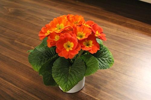 プリムラ ポリアンサ 室内で管理 肥後ポリアンサ 出荷 生産 販売 Primula polyantha サクラソウ科 松原園芸