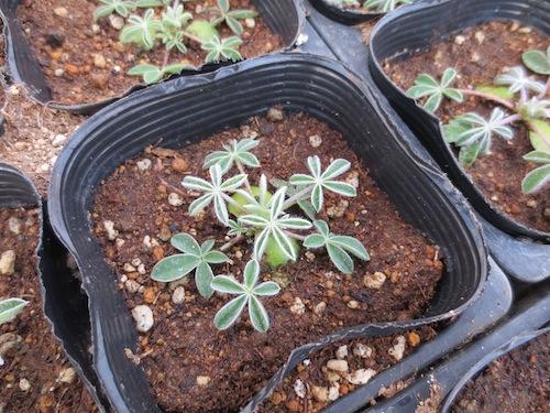 Lupinus texensis ルピナス ブルーボンネット 苗 出荷 生産 販売 松原園芸