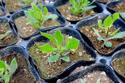 オステオスペルマムオステオスペルマム Osteospermum 生産 販売 松原園芸