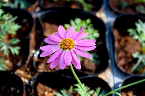 マーガレット ピンク 生産 販売 松原園芸 Argyranthemum frutescens