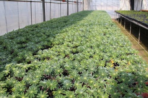 傘咲きルピナス Lupinus hirsutus 傘葉ルピナス(カサバルピナス) 根粒菌 生産 販売 松原園芸