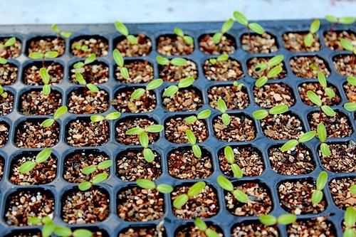 ニチニチソウ タイタン Catharanthus roseus セル苗 生産 販売 松原園芸