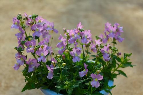 ネメシア 試作品種 スイートピンク Nemesia  caerulea 生産 販売 松原園芸